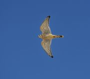 American kestrel in flight Royalty Free Stock Photography