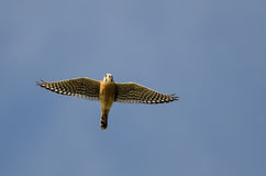 American Kestrel Flying in a Clear Blue Sky Royalty Free Stock Photo