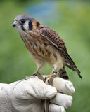 American Kestrel. An American Kestrel (Falco sparverius) on the glove of a falconer Royalty Free Stock Photo