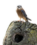 American Kestrel Isolated Royalty Free Stock Images