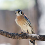 An American Kestrel with Jesses on Both Legs Stock Photo