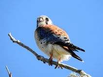 American Kestrel on the look out for lunch Stock Image