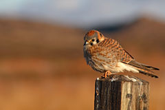 American Kestrel Looking Out From Perch. A female American Kestrel looking out from a perch in central New Mexico Royalty Free Stock Photos