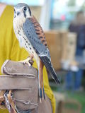 American Kestrel male. Perched on gloved hand of bird handler Stock Photo