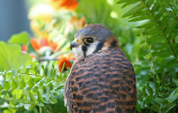 American Kestrel, a Member of the Hawk Family Stock Photos