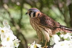 American Kestrel, a Member of the Hawk Family Royalty Free Stock Photo