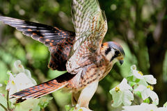 American Kestrel, a Member of the Hawk Family Stock Photo