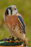 American Kestrel on Perch Royalty Free Stock Photos