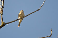 American Kestrel Perched on a Branch Royalty Free Stock Image