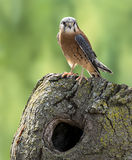 American Kestrel Stock Photos