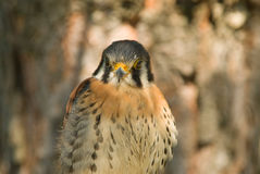 American kestrel portrait. American kestrel close up (Falco sparverius Royalty Free Stock Photos
