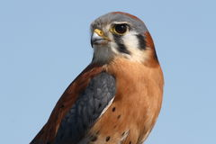 American kestrel portrait Stock Photography