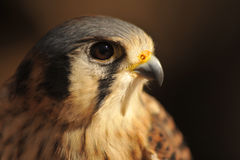 American Kestrel Portrait. Strikingly beautiful portrait of an American Kestrel with highlighted face and brown background Stock Photos