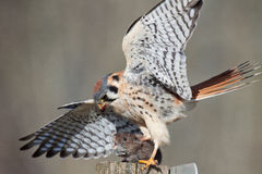 American Kestrel with prey. This American Kestrel clasps its talons around the neck of its prey Royalty Free Stock Image