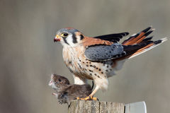 American Kestrel with prey. This American Kestrel clasps its talons around the neck of its prey Royalty Free Stock Photos