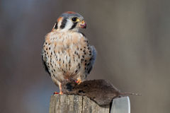 American Kestrel with prey. An American kestrel grasps its prey tightly while looking out for potential danger Royalty Free Stock Photos