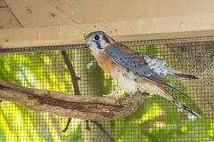 American Kestrel Profile Stock Photography