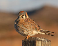 American Kestrel Puffed Up Royalty Free Stock Photography
