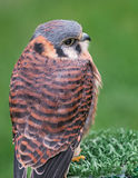 American Kestrel Sits on Perch Stock Photo