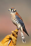 American kestrel sitting on falconer glove Stock Image