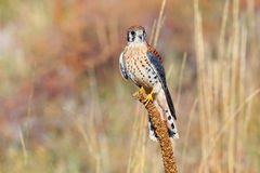 American kestrel sitting on a mullein Royalty Free Stock Photo
