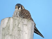 American Kestrel sitting on top of pole Royalty Free Stock Image