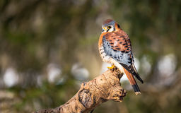 American Kestrel. Sitting on a tree Stock Photography