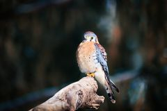 American Kestrel sitting on a tree Royalty Free Stock Images