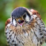 American kestrel or Sparrow hawk Royalty Free Stock Photo