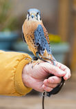 American Kestrel / Sparrow Hawk Royalty Free Stock Photo