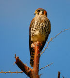 American Kestrel / Sparrow Hawk Stock Photos