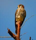 American Kestrel / Sparrow Hawk Stock Photos