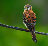 American Kestrel / Sparrow Hawk Royalty Free Stock Photography
