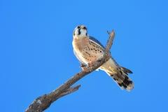 AMERICAN KESTREL or SPARROW-HAWK, Falco sparverius Stock Photography