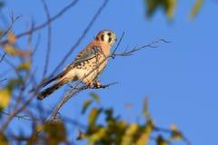 American Kestrel or sparrow hawk Royalty Free Stock Image