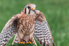 American Kestrel Spreads Wings Royalty Free Stock Photos