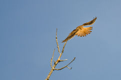 American Kestrel With Tail Feathers Fanned Out Stock Photography