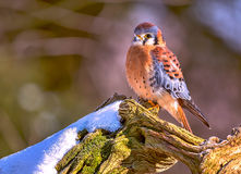 American kestrel. On a tree with snow Royalty Free Stock Image