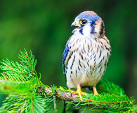 American kestrel. On a tree with snow Royalty Free Stock Photography
