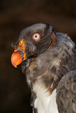 American king vulture Stock Photo
