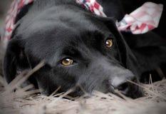 American Labrador. Animal Shelter Black Labrador Retriever with American Flag Bandana stock photo