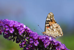American Lady Butterfly Stock Photo
