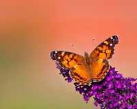 American Lady butterfly royalty free stock image