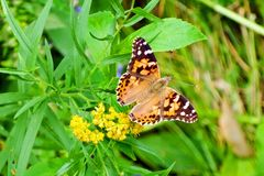 American lady butterfly. American lady Vanessa virginiensis taking off from goldenrod flowers. This butterfly is often mistaken for a Monarch. This species is stock photography