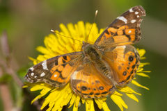 American Lady Butterfly Royalty Free Stock Images