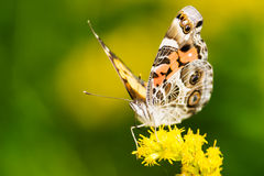 American Lady Butterfly Royalty Free Stock Photo