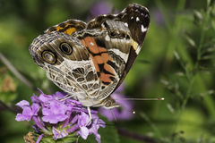 American Lady Butterfly Stock Photography