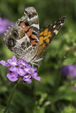 American Lady Butterfly Royalty Free Stock Photography