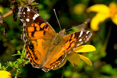 American Lady Butterfly Stock Images