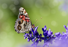 American Lady butterfly (Vanessa virginiensis) on Salvia Royalty Free Stock Photo